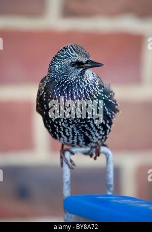 Starling Sturnus vulgaris Profile of single adult in urban environment Hampshire, UK - Stock Photo
