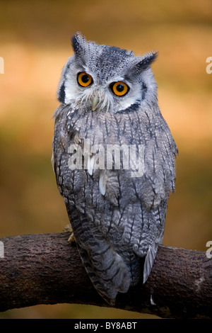 white owl buddhist singles Pīkiskwewina ohci (lyrics from) jessica hall mary cardinal sipweham (lead  vocals) veronica johnny atoskata kitohcikewin (co-producer) travis.