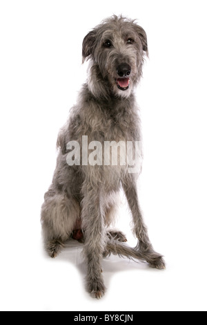 Deerhound Single adult sitting in studio UK - Stock Photo