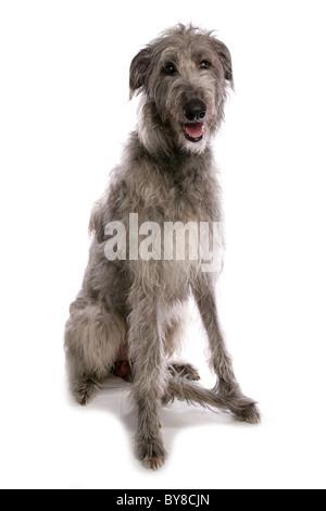 Deerhound Single adult sitting in studio UK - Stock Photo