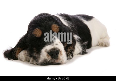 Cocker spaniel Single puppy sleeping in studio UK - Stock Photo