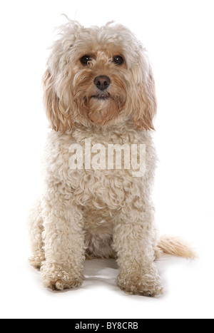 Cockerpoo Single adult female sitting in studio - Stock Photo