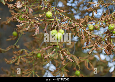 Conkers on Horse Chestnut tree, Aesculus hippocastanum, showing leaf-miner damage. - Stock Photo