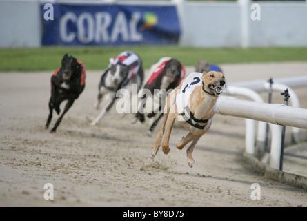 Greyhound Racing Group of adults racing UK - Stock Photo