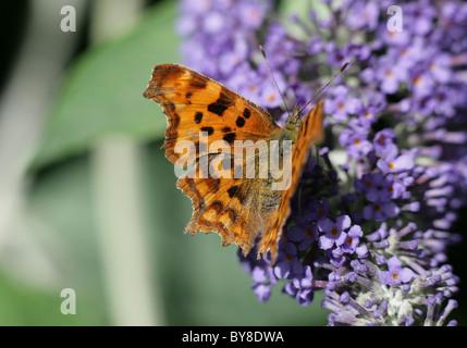 Comma Butterfly Polygonia c-album Single adult feeding on Buddleia Dorset, UK - Stock Photo