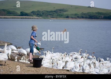 Mute Swan Cygnus Olor Young Boy feeding mute swans Abbotsbury Swannery, Dorset, UK - Stock Photo