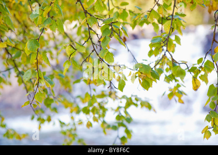 Autumn birch branches over the water in the forest - Stock Photo