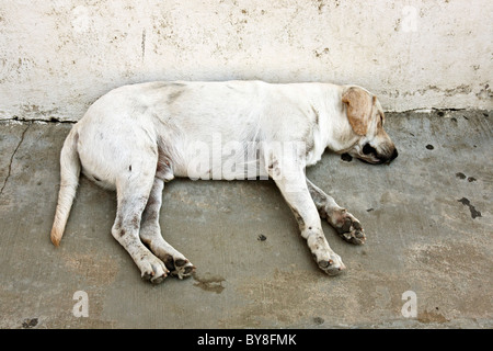 tired appealing white mongrel dog sleeping sweetly in shade on hot street in Puerto Angel Oaxaca State Mexico - Stock Photo