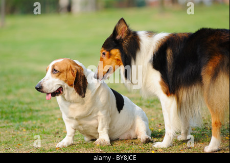 Two dogs playing together in the lawn - Stock Photo