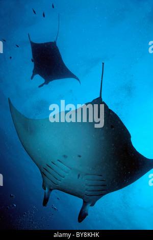 Two giant manta ray - manta birostris in the ocean off the Maldives. - Stock Photo