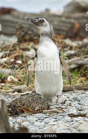 Magellanic penguin (Spheniscus magellanicus) juvenile, standing, Otway Fjord northwest of Punta Arenas Chile South - Stock Photo