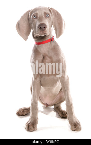 Weimaraner Single female puppy sitting Studio, UK - Stock Photo