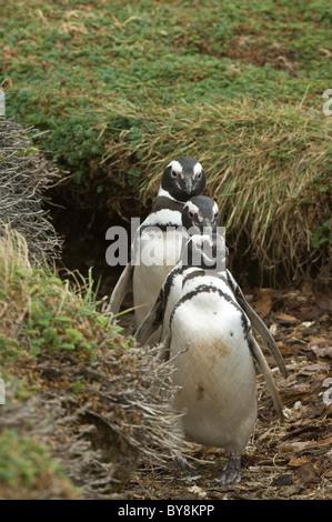 Magellanic penguin (Spheniscus magellanicus) three adults walking from burrow Otway Fiord northwest of Punta Arenas - Stock Photo