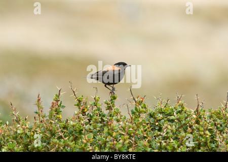 Sobrepuesto, Rufous-backed Negrito (Lessonia rufa) perch on top of the bush Otway fiord northwest of Punta Arenas - Stock Photo