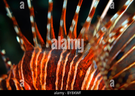 Spiky and striped dorsal fin of a Spotfin Lionfish (Pterois antennata) - Stock Photo
