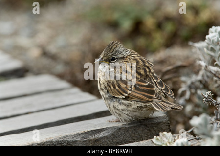 Rufous-collared sparrow (Zonotrichia capensis) juvenile standing on boardwalk Otway Fjord NW of Punta Arenas Chile - Stock Photo