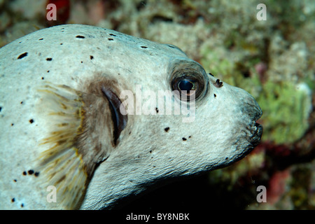 Blackspotted Puffer Fish or Dog-faced Puffer (Arothron nigropunctatus) - Stock Photo