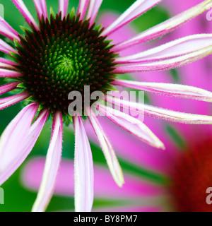 Echinacea purpurea, Purple cone flower - Stock Photo