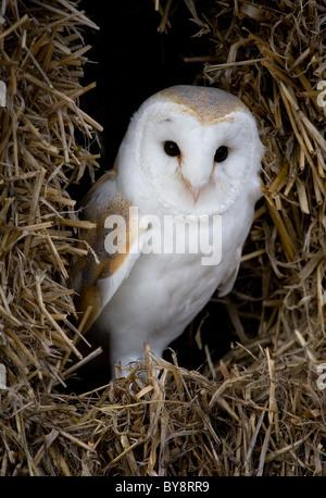 Barn Owl Tyto alba Portrait of single adult in hay bales Gloucestershire, UK - Stock Photo