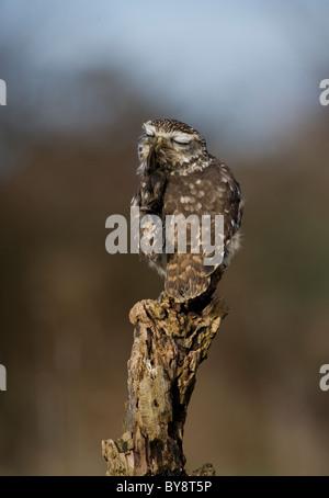 Little Owl Athene noctua Single adult itching Gloucestershire, UK - Stock Photo
