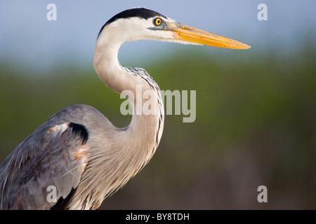 Birds Great Blue Heron Ardea herodias Santa Cruz Indefatigable las Bachas The Galapagos Islands - Stock Photo