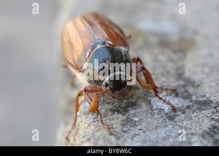 A macro shot of a common cockchafer, May Bug, Billy Witch, or Spang Beetle on a stone step.  They fly in May hence the name.