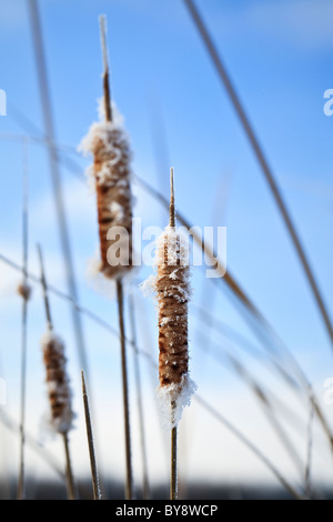 Bulrushes (Cattails) covered in frost,  Assiniboine Forest, Winnipeg, Manitoba, Canada. - Stock Photo