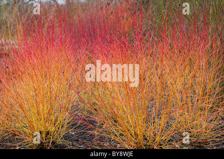 Cornus sanguinea Midwinter Fire Dogwood - Stock Photo