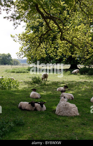 EWES REST IN THE SHADE OF A TREE WITH THEIR YOUNG SPRING LAMBS. - Stock Photo