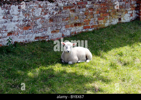 AN ENGLISH SPRING LAMB RESTING IN THE SHADE OF A WALL. - Stock Photo