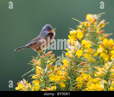 Dartford Warbler - New Forest - Stock Photo