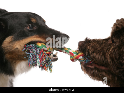 Two dogs playing tug of war Male adult border collie and female young labradoodle Studio - Stock Photo