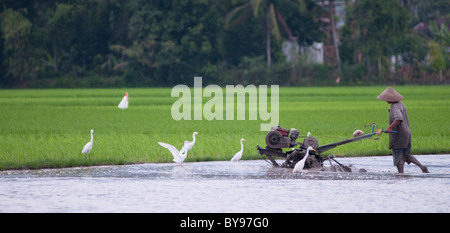 Farmer plowing the wet rice field - Stock Photo