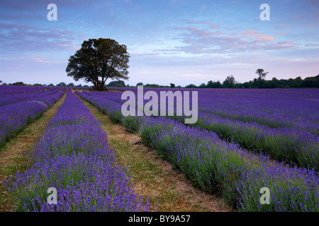Organically grown lavender field. The scent from the flowers fills the morning air with a beautiful perfume. - Stock Photo
