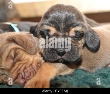 week old bloodhound puppy - Stock Photo