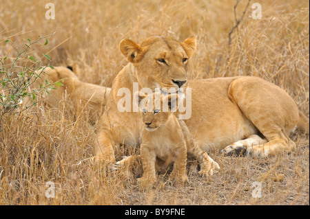 A pride of Lions (Panthera leo) with a young cub in the Masai Mara, Kenya, Africa - Stock Photo