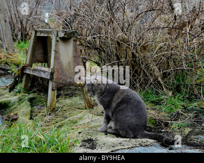 A grey cat in an allotment waiting for mice. - Stock Photo