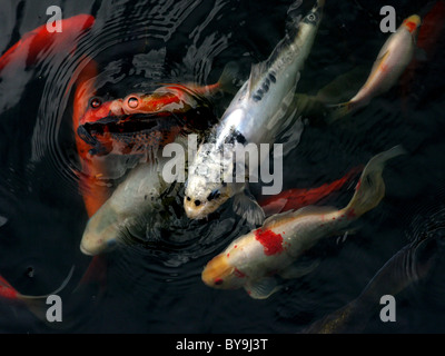 Koi carp swimming stock photo royalty free image for Koi pool cue