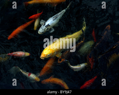 A selection of koi carp in a pond. - Stock Photo