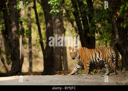 2.5-year-old male Bengal tiger crossing forest path - Stock Photo