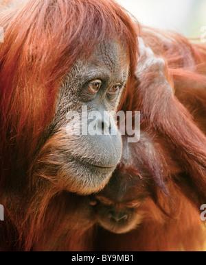 Orangutan (Pongo pygmaeus) Mother with her baby. - Stock Photo