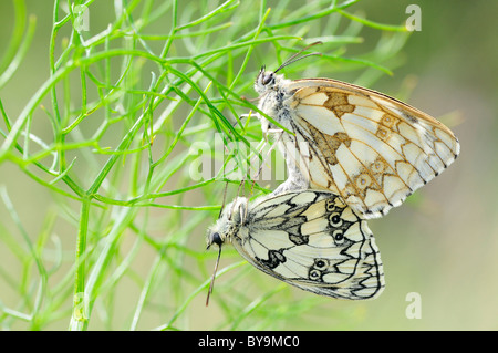 Mating Marbled White butterflies (Melanargia galathea) in grass and view of profile - Stock Photo