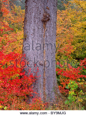 Fall colors of vine maple surround giant trunk of Sitka spruce, Hoh Valley, Olympic National Park, Washington, USA - Stock Photo