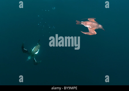 Group of guillemots swims under water. Common Murre or Common Guillemots (Uria aalge, Pontoppidan), Barents Sea, - Stock Photo