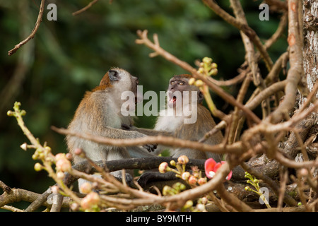 Rhesus Monkey in Penang Botanic Gardens - Stock Photo