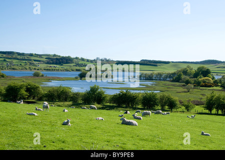 sheep and lambs grazing by Crossmichael on banks of Loch Ken - Stock Photo