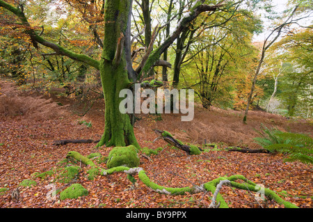 autumn colour and beech trees in Castramon Wood by Gatehouse of Fleet, nature reserve - Stock Photo
