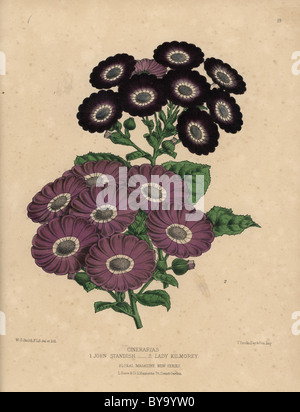 Cineraria hybrids: Purple Lady Kilmorey variety, black and purple John Standish. - Stock Photo