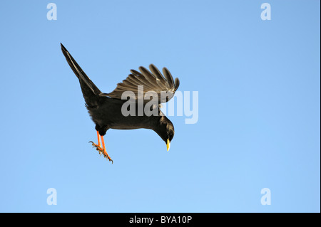 Yellow-billed chough, alpine chough (Pyrrhocorax graculus) searching for food, Swiss Alps, Switzerland, Europe - Stock Photo