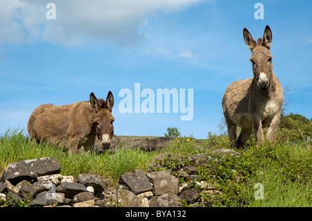 Portrait of two donkeys in a grass field, Ardeche, France. - Stock Photo